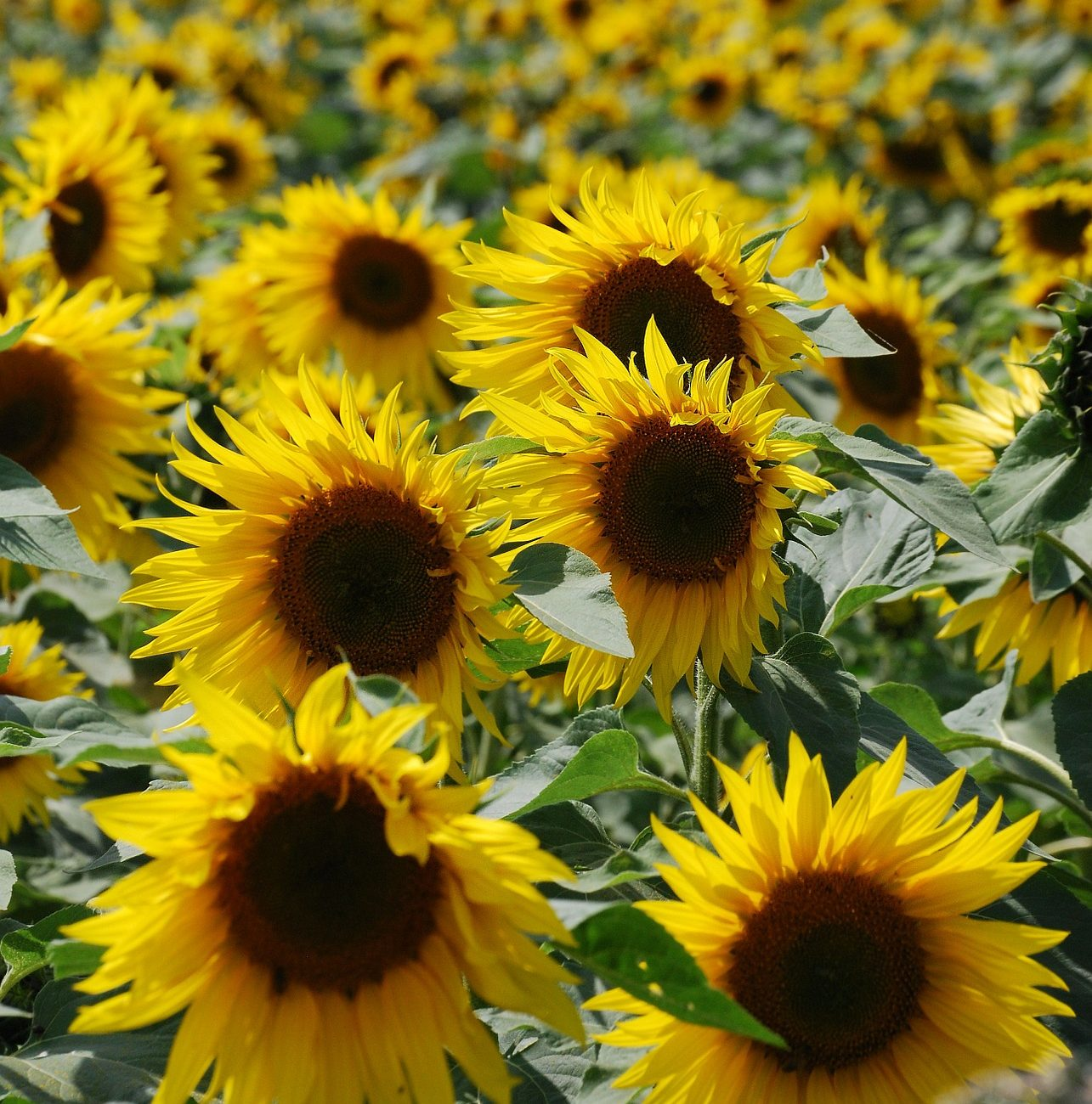 sunflower-369733_1920